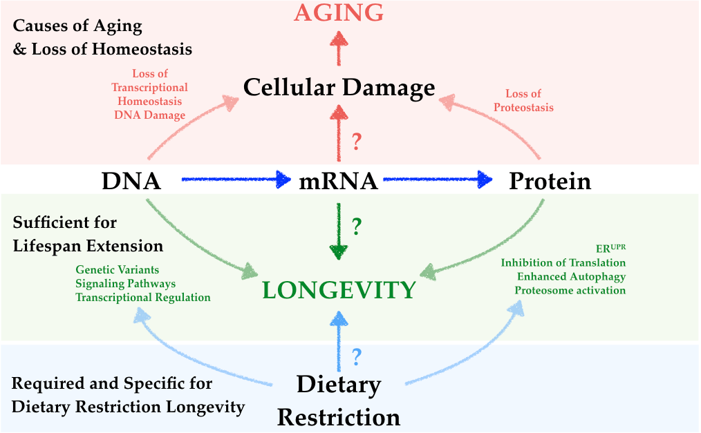 Rna splicing and aging mair lab harvard th chan school of splicing factor 1 modulates dietary restriction and torc1 pathway longevity in c elegans heintz c doktor tk lanjuin a escoubas cc zhang y weir hj ccuart Gallery