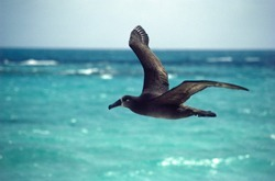Mercury on the rise in endangered Pacific seabirds