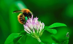 bee-clover-feature