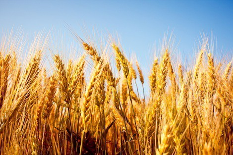 Wheat and nutrition