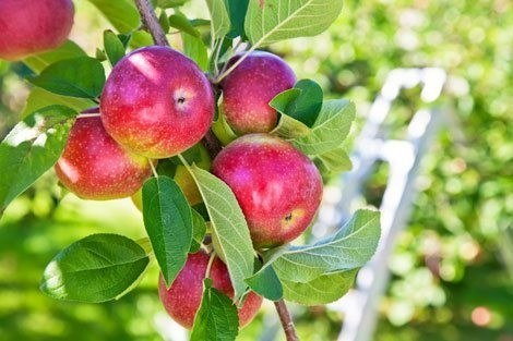 Apples-on-tree-release
