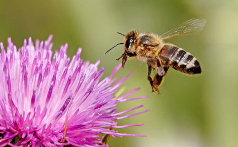 Pesticides found in most pollen collected from foraging bees in Massachusetts