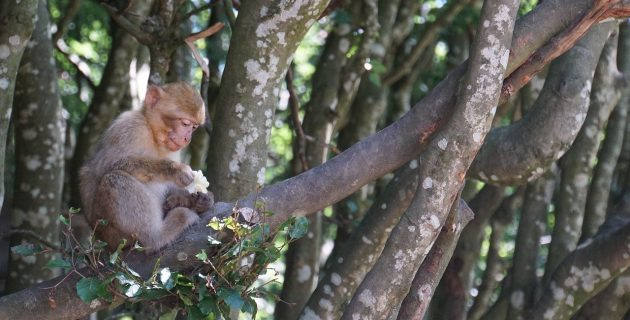Barbary ape sitting in a tree