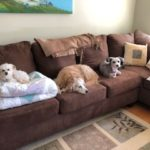 3 dogs on a couch