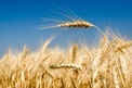 wheat_field (Wheat_field.jpg)