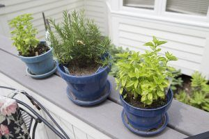 basil rosemary and other herbs