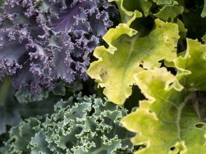 Three colors of kale, purple green, and light green