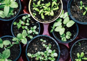 A bunch of herbs in small dirt pots, including oregano, thyme, basil