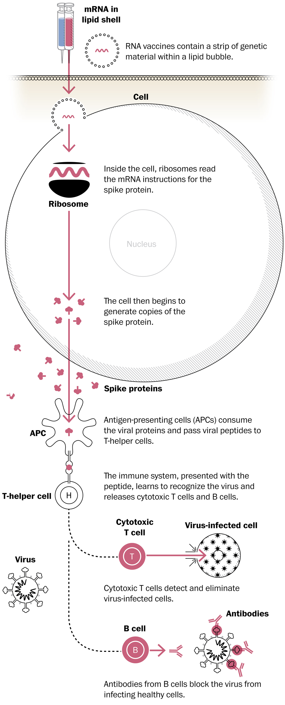 Visual diagram depicting how mRNA vaccines function