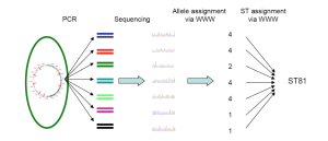 Illustration of MLST. Loci are amplified by PCR, sequenced, and each unique allele assigned an allele number, and each unique combination of alleles determines the Sequence Type. The illustration reflects Sanger Sequencing, but we now accept results from Next-Gen methods.