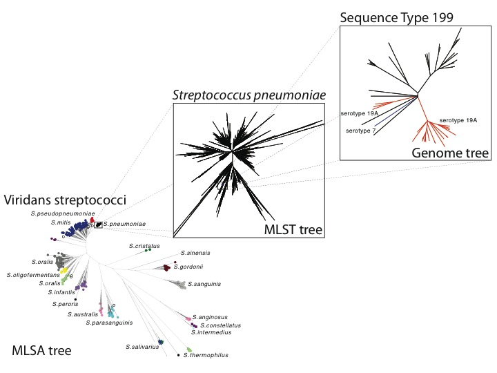 Zooming into bacterial diversity. The leftmost tree shows the relationships between streptococcal species. Note how every S. mitis is as different from every other on average as from the pneumococcus (the tight black dot). Zooming in to the greater resolution offered by MLST, we find many diverse lineages separated by long branches. The genome tree shows relationships among isolates in just one tip of the MLST tree. Genomic studies reveal gain and loss of major antigens as well as other important features of bacterial evolution.